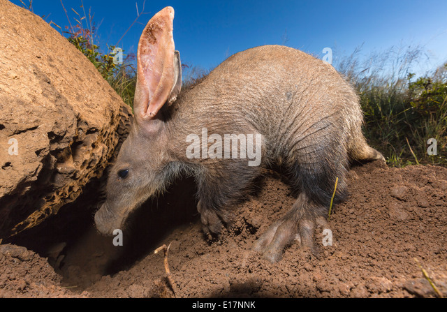 Junge Erdferkel (Orycteropus Afer) auf der Suche nach Ameisen und Termiten. Namibia Stockbild