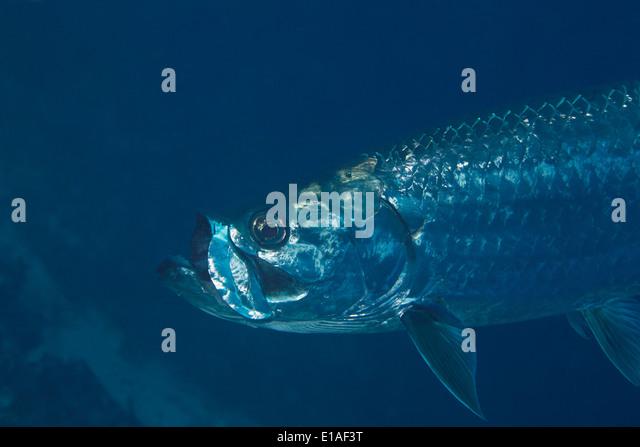 Nahaufnahme eines Fisches Tarpoon im karibischen Meer um Bonaire, Niederländische Antillen. Tarpoon in de Caraibische Stockbild