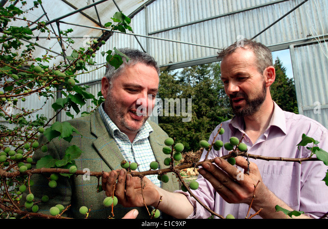 Richard Corrigan mit Kopf Gärtner Dermot Carey Prüfung Aprikosen Stockbild