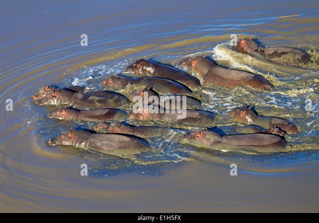 Luftaufnahme der Gruppe von Nilpferd. (Hippopotamus Amphibius) schwimmen, Südafrika Stockbild