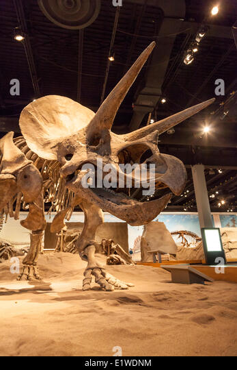 Triceratops Fosil Wiederaufbau in einen Dinosaurier-Ausstellung im Royal Tyrrell Museum Norden Drumheller in Midland Stockbild