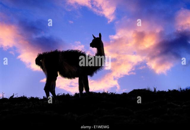 Erwachsenen Guanako (Lama Guanicoe), Nationalpark Torres Del Paine, Patagonien, Süd-Chile, Südamerika Stockbild