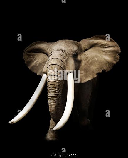 Afrikanischer Elefant auf schwarzem Hintergrund Stockbild