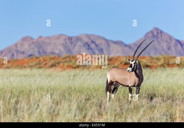 Oryx (Oryx Gazella) Stockbild
