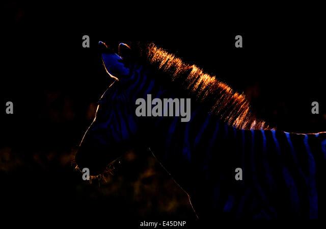 Gemeinsamen Zebra (Equus Burchelli) Silhouette mit Licht von hinten, Tansania Stockbild