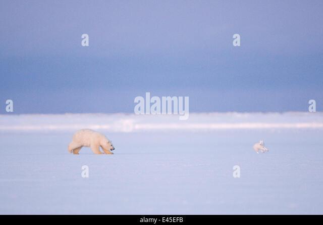 Polar Bär (Ursus Maritimus) jagt ein Polarfuchs (Vulpes / Alopex Lagopus) auf dem Packeis, üben Sie ihre Stockbild