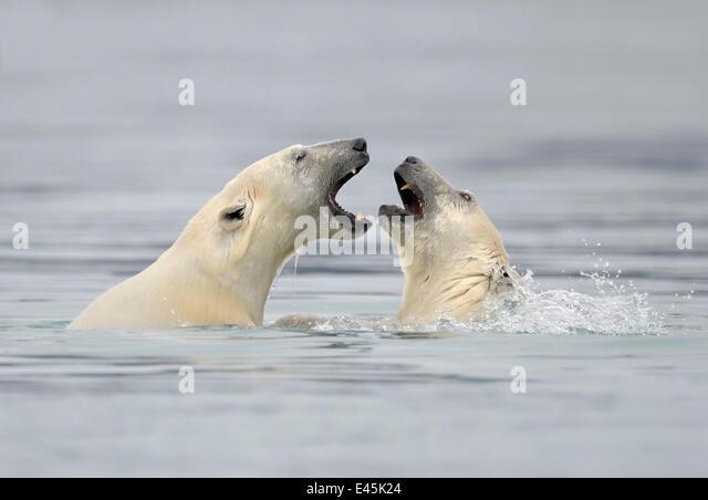 Eisbär (Ursus Maritimus) Mutter und Jungtier spielen im Wasser, Spitzbergen, Norwegen, September 2009 Stockbild