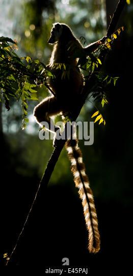 Katta Lemur (Lemur Catta) Sonne aalen in der Morgendämmerung. Berenty Private Reserve, Süden Madagaskars. Stockbild