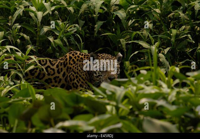 Jaguar (Panthera Onca) weiblich, versteckt in dichten hohen Gräsern.  Pantanal, Brasilien, Südamerika. Stockbild