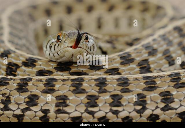 Karierte Garter Snake (Thamnophis Marcianus Marcianus) aufgewickelt mit hervorstehenden Zunge. Fennessey Ranch, Stockbild