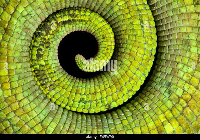 Nahaufnahme aufgerollter Schwanz von Parsons Chamäleon {Calumma Parsonii} Skalen und starke grüne Färbung Stockbild
