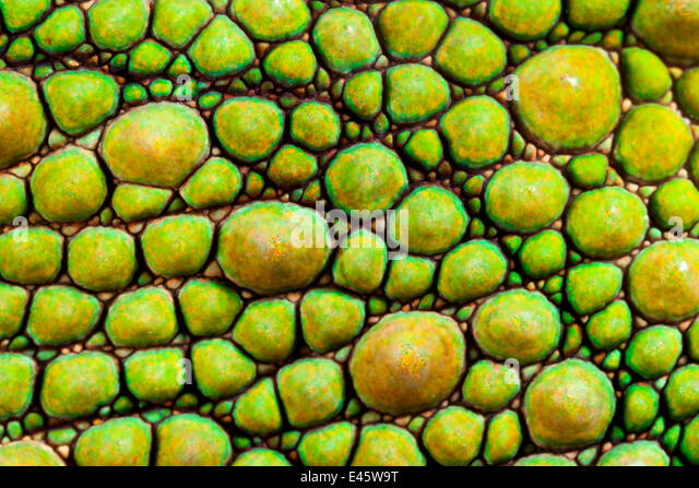 Panther Chamäleon {Furcifer Pardalis} Nahaufnahme der Haut, grüne Färbung. Masoala Halbinsel Nationalpark, Stockbild