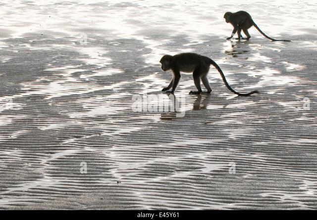Zwei Long-tailed / Krabben essen Makaken (Macaca Fascicularis) auf Nahrungssuche an Küste bei Ebbe, Bako Nationalpark, Stockbild