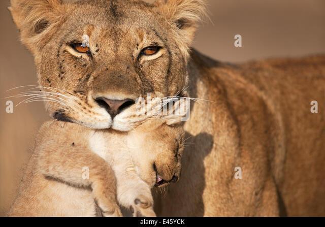 Löwin (Panthera Leo) trägt ihr junges im Alter von 2-3 Monaten. Masai Mara National Reserve, Kenia. August Stockbild