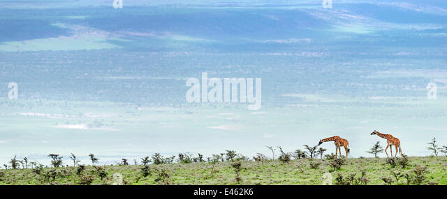Masai-Giraffen (Giraffa Plancius) auf den offenen Ebenen grasen Pfeifen Thorn Akazie (Acacia Drepanolobium). Pisten Stockbild