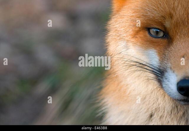 Rotfuchs (Vulpes Vulpes) Hälfte des Gesichts, gefangen in Nahaufnahme Stockbild