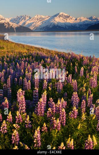 Ein Feld von Lupine entlang Turnagain Arm, Chugach National Forest, Alaska. Stockbild