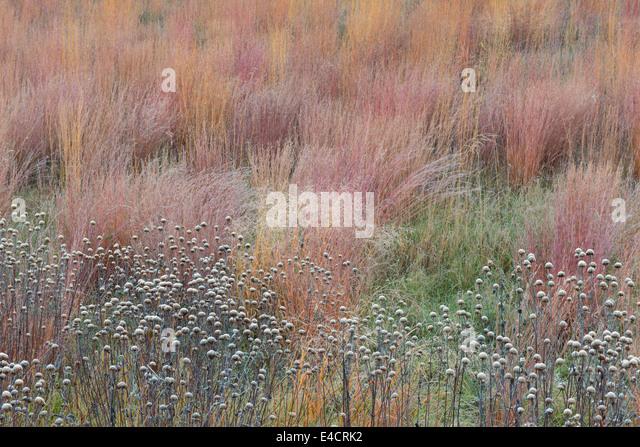 Frost deckt diese Samenköpfe in eine Eiche Savanne in Stony Creek Metropark, Michigan, USA. Stockbild