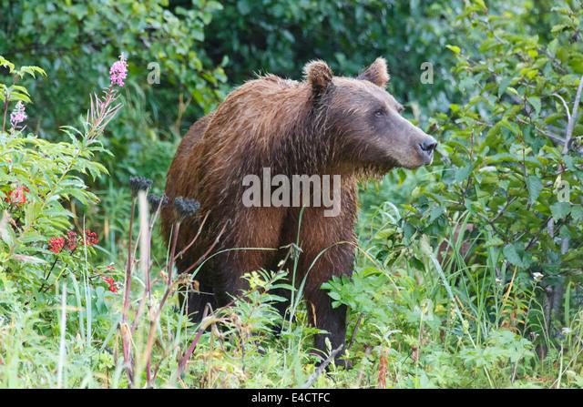 Eine braune oder Grizzly Bear, Lake-Clark-Nationalpark, Alaska. Stockbild
