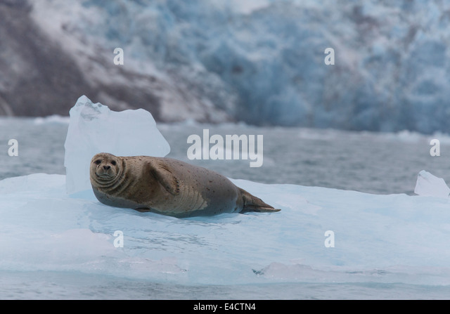 Harbor Seal im Prinz-William-Sund, Chugach National Forest, Alaska. Stockbild