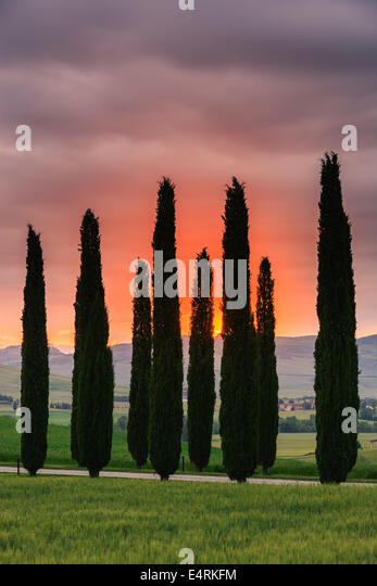 Zypressen bei Sonnenaufgang, Poggio Covili, Toskana, Italien. Stockbild