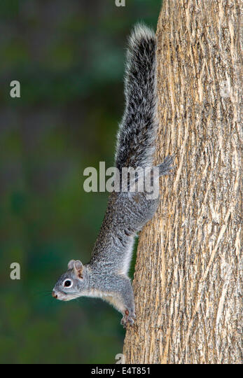 Arizona graue Eichhörnchen Sciurus Arizonensis Madera Canyon, Santa Rita Mountains, Arizona, USA 11 Juli Erwachsenen Stockbild
