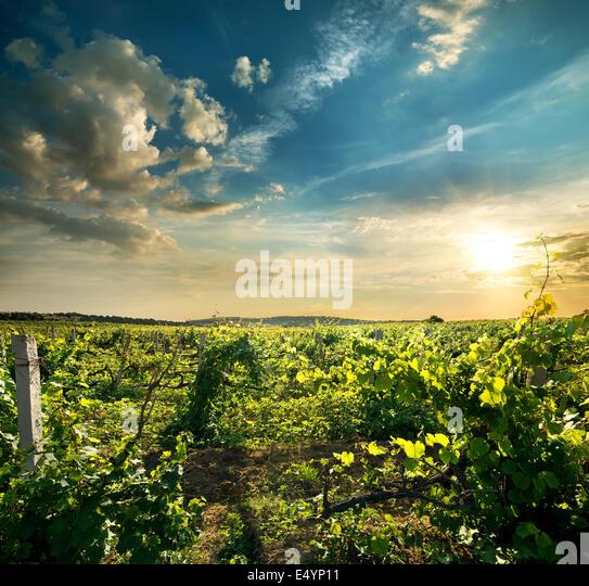 Grüne Traube Feld in der Abendsonne Stockbild