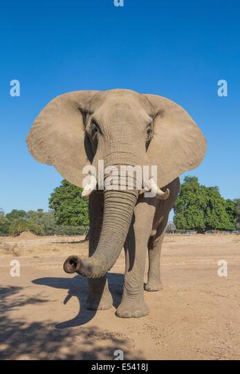 Neugierig afrikanischen Elefantenbullen schnüffeln Stockbild