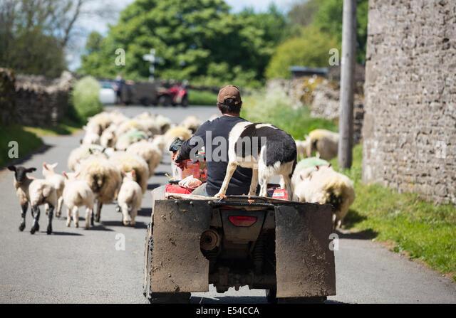 Ein Landwirt Viehtreiber Schaf von einem Quad-Bike in der Nähe von Haweswater, Lake District, Großbritannien. Stockbild
