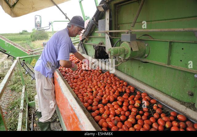 Tomaten, automatisiert die Ernte in der Provinz Piacenza (Italien) Stockbild