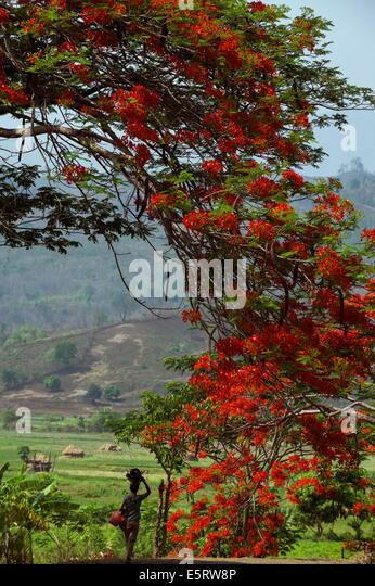 Flame Tree, in der Nähe Kangyi, Magway Division, Myanmar. Stockbild