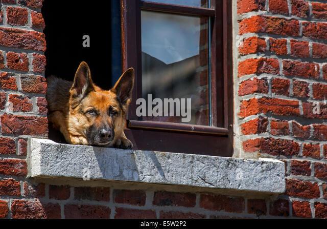 Neugierig Deutscher Schäferhund (Canis Lupus Familiaris) kleben Kopf durch Fenster des Hauses Stockbild