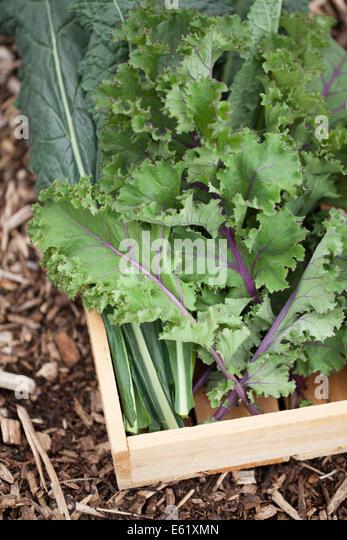 Nero di Toscana & Scarlet Kale in Holzkiste Stockbild