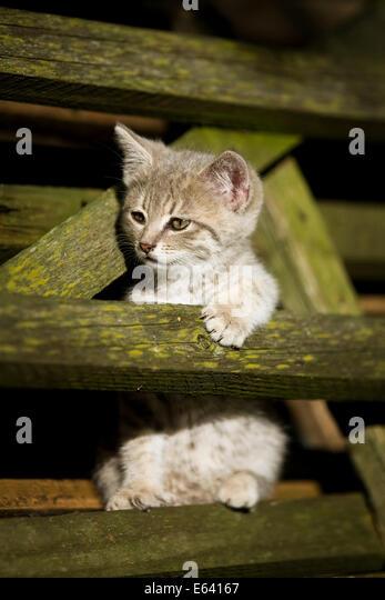 Grau Tabby Kitten eingekeilt zwischen Holzlatten, Deutschland Stockbild
