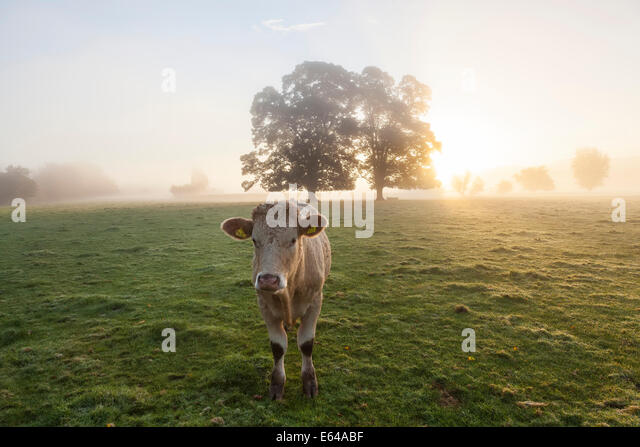 Kuh im Feld, Sonnenaufgang, Usk Valley, South Wales, UK Stockbild