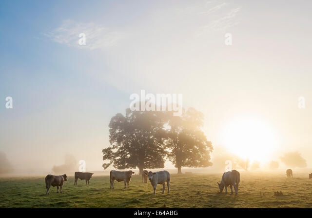 Kühe im Feld, Sonnenaufgang, Usk Valley, South Wales, UK Stockbild