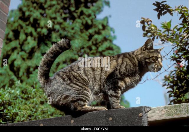 Hauskatze auf Wand - Felis Silvestris catus Stockbild