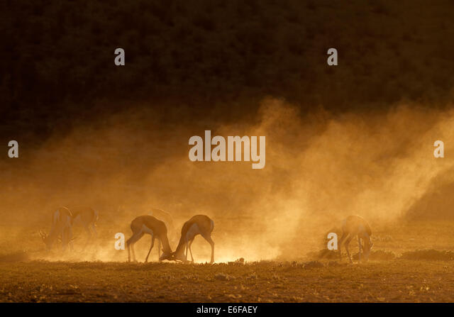 Springbock Antilope (Antidorcas Marsupialis) in Staub bei Sonnenaufgang, Kalahari-Wüste, Südafrika Stockbild