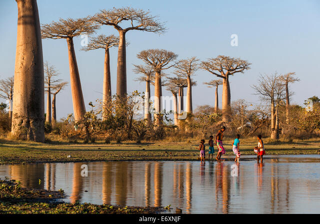 Baobab in der Nähe von Morondava, Affenbrotbäume Grandidieri, Madagaskar Stockbild