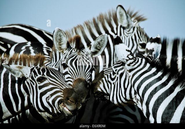 Zebras in Ost-Afrika, Afrika Stockbild