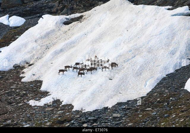 Rentiere sammeln an einer Stelle der Schnee im Sommer entlang Kungsleden in den Bergen von Schwedisch-Lappland Stockbild