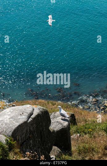 Channel Islands Küste und Vogel, UK Stockbild