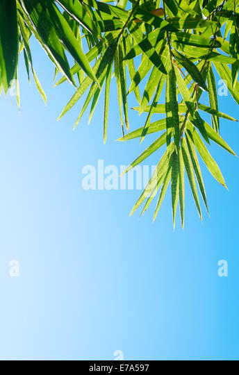 Grüner Bambus Blätter Schuss gegen einen hellen blauen Morgenhimmel Stockbild