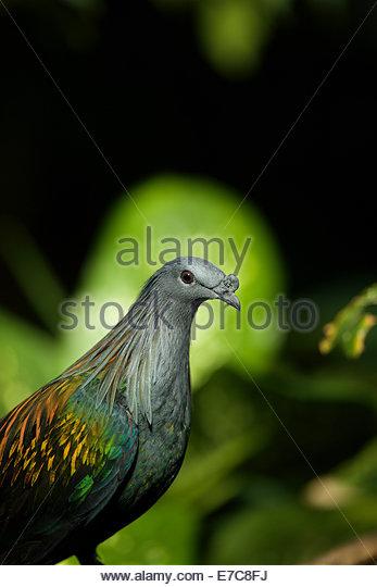 Nicobar Taube (Caloenas Nicobarica) ist eine Taube auf den Nikobaren-Inseln gefunden Stockbild