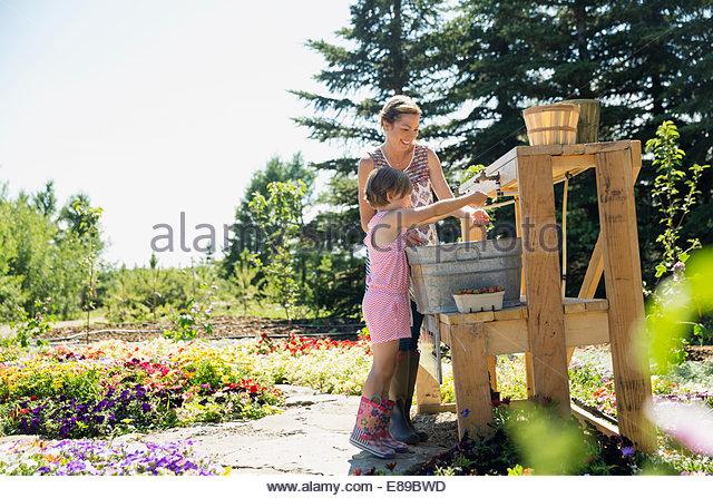 Mutter und Tochter, die frische gepflückte Beeren spülen Stockbild