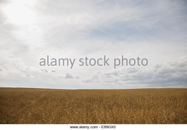 Sonnigen ländlichen Weizenfeld Stockbild