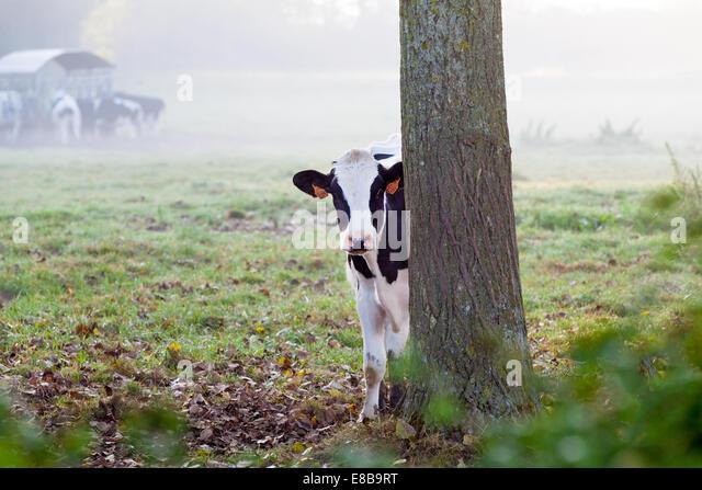 Neugierige Kuh in einem nebligen Morgen, St. Omer, Frankreich Stockbild
