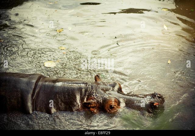 Ein Nilpferd in einem Fluss in Nahaufnahme Stockbild