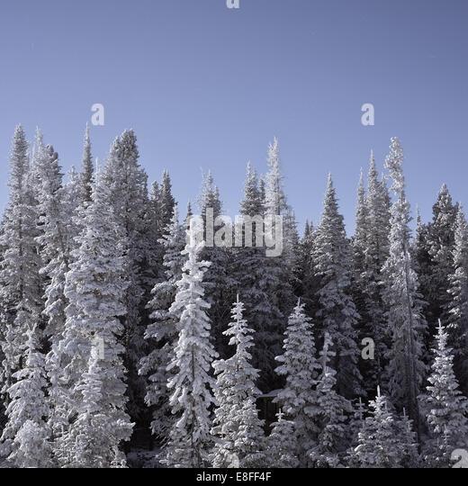 Verschneite Bäume, Wyoming, Amerika, USA eingefroren Stockbild