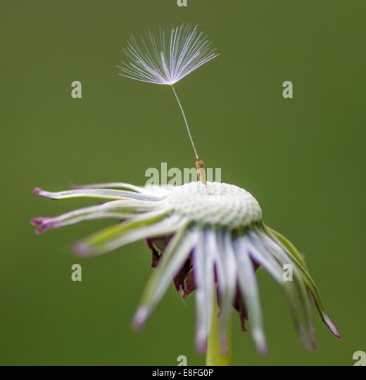 Nahaufnahme von Löwenzahn Samen auf Blume Stockbild